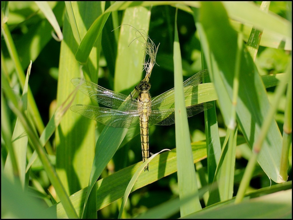 newly emerged Black-tailed Skimmer