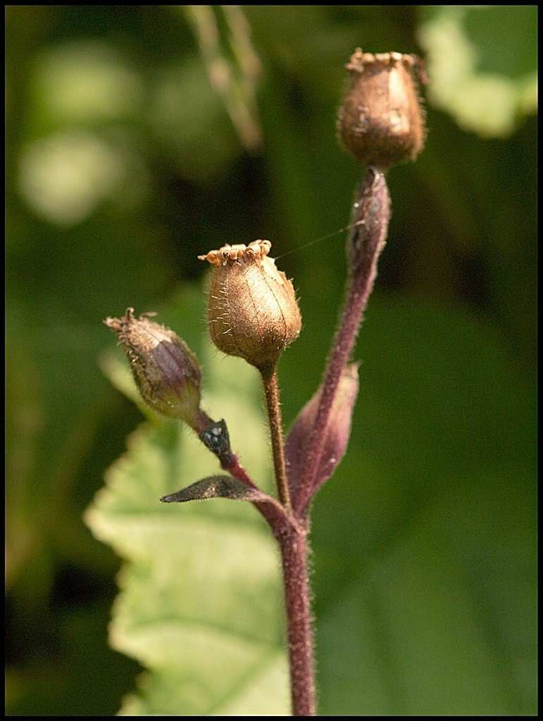 Red Campion seed pods