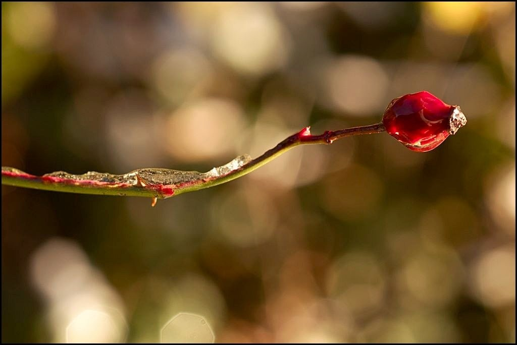 rose hip with icy deposit