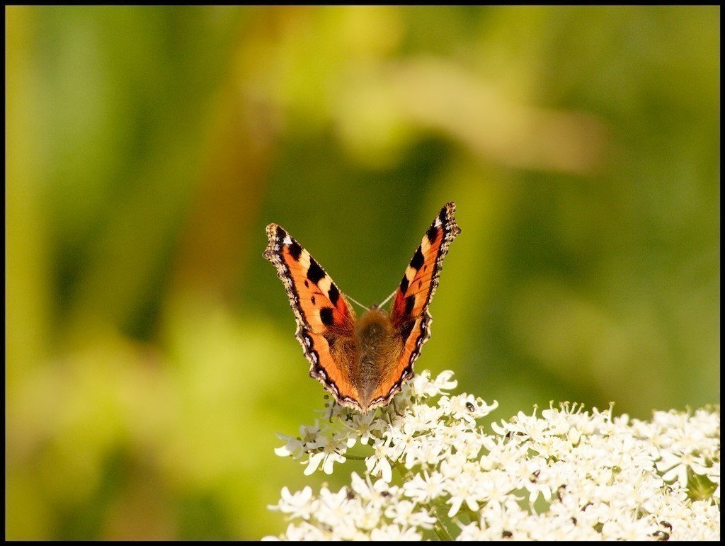 Small Tortoiseshell butterfly on Hogweed
