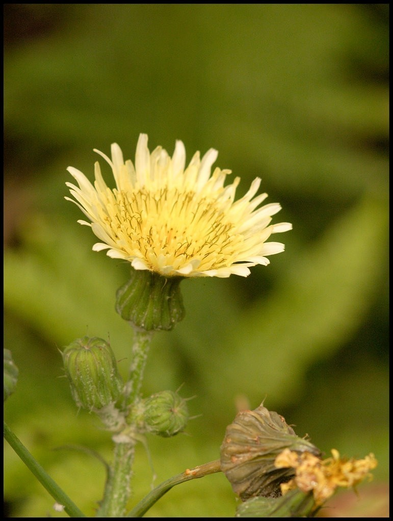 Sow-thistle, either Smooth, Rough or Corn