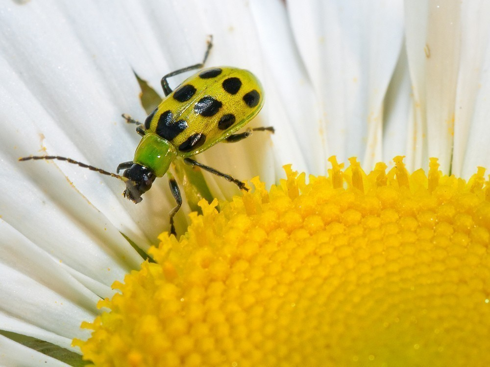 Spoted Cucumber Beetle