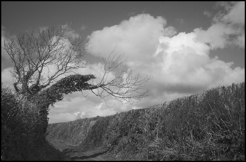 Windblown tree and cloud